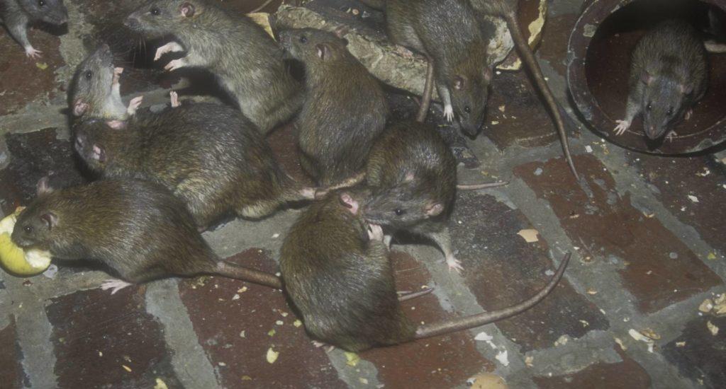 уничтожение крыс в Курске